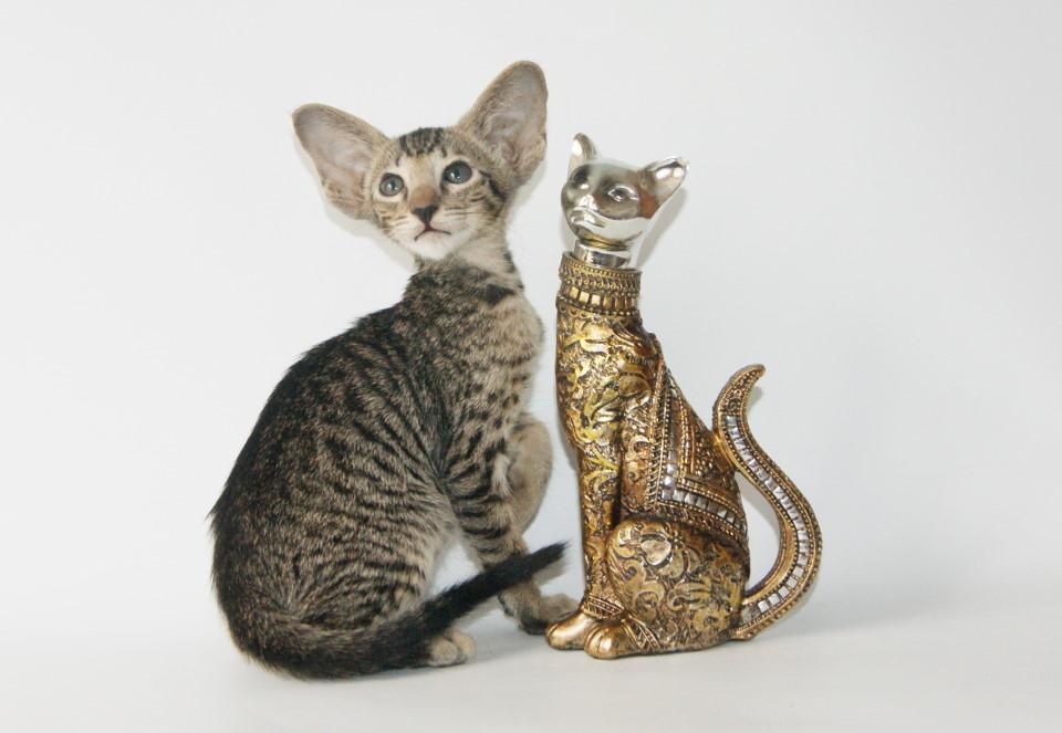 Питомник » Samarskaya Fortuna» предлагает ориентальных и сиамских котят